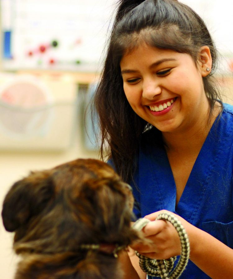 HELPING PAW : Senior Gabriela Minjares wraps a leash around a dog to take outside. On A days Minjares spends her mornings at the VCA Tanglewood Animal Hospital.