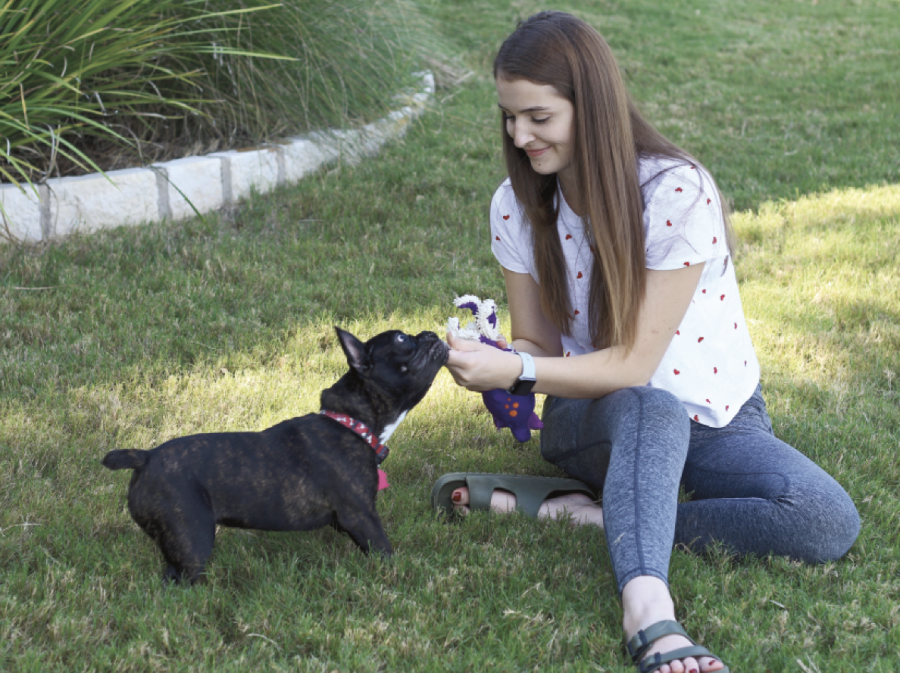 EYES ON  HER PUPPY : Senior Robyn Andrews  plays tug of war her with small French Bulldog named Winston. Andrews bought two French Bulldogs from Trinadad Sanders when they were only eight weeks old, one them went to her sister, and the other went to Andrews and her family.