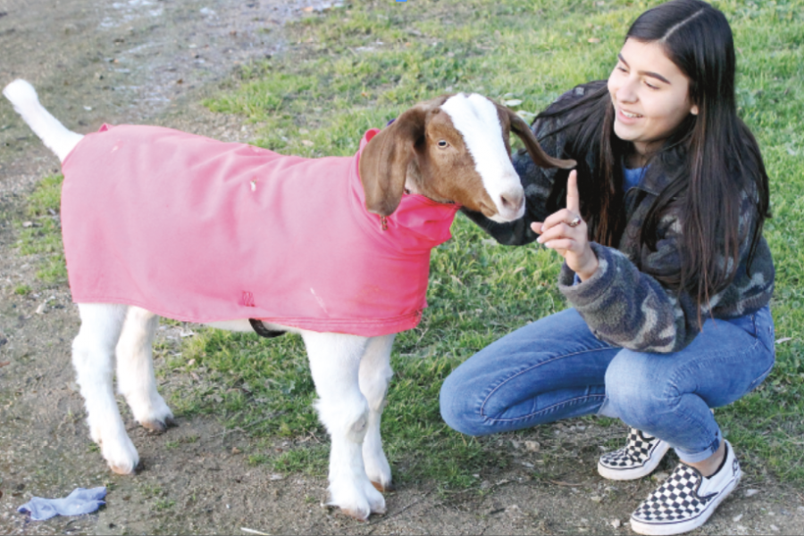 ONE GREAT GOAT: Senior Brianna Acosta works with her goat Hennessy to prepare for TCYS and other FFA contests. When a student participates in the FFA program, they are responsible for all of the care their animal requires.
