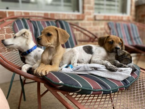 Lounging together, Junior Ellie Bible's four new foster puppies enjoy the outdoors in a deck chair. Bible and her family decided to foster Boxer and Cocker Spaniel mix puppies to help support the shelters during the pandemic.